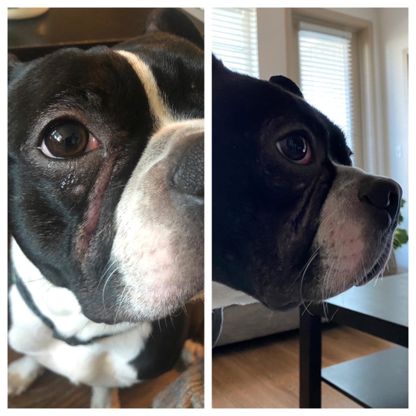 Review photo of dog before and after the wrinkle cream