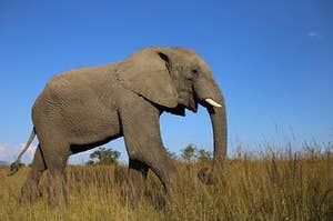 An African bush elephant on the grassland