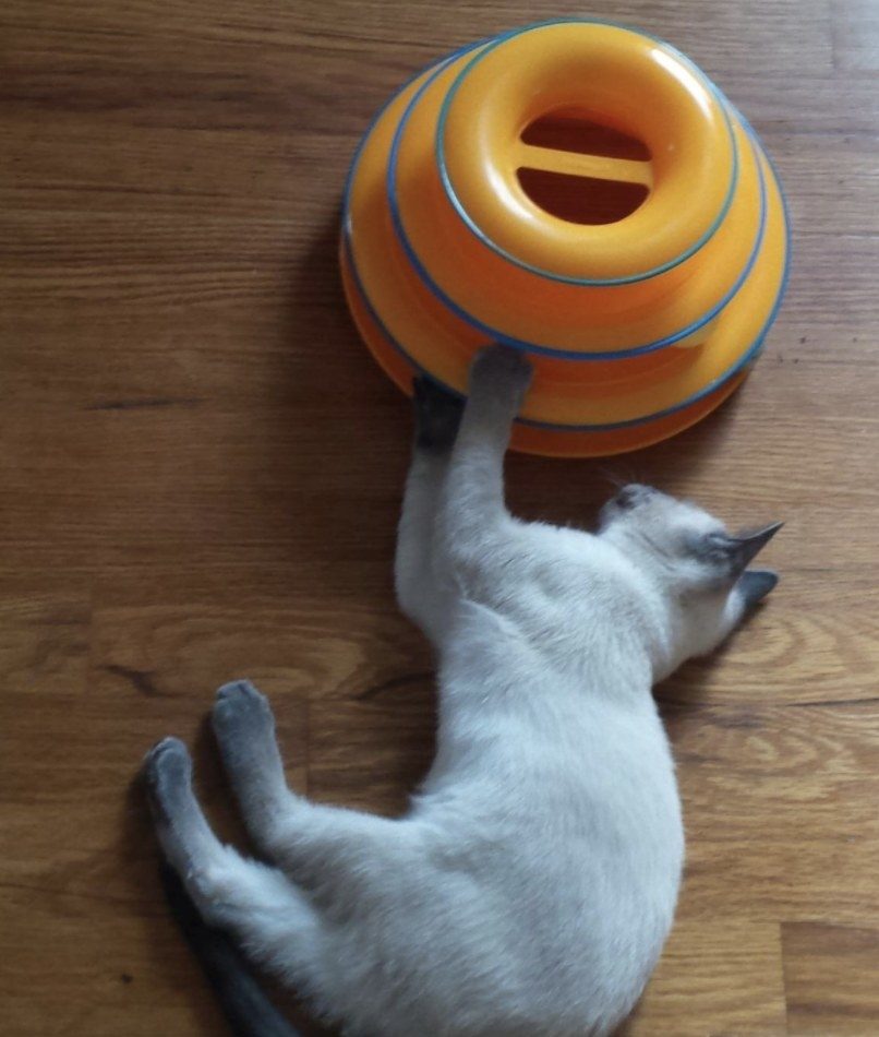 A cat playing with a cat tracks toy