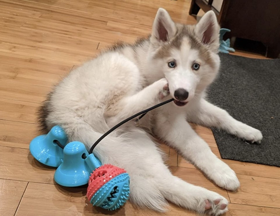 A dog playing with a tug-o-war toy