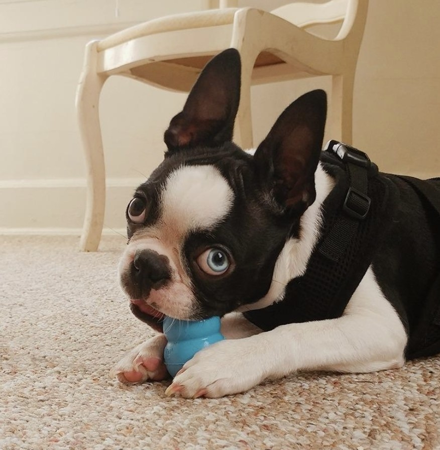 A dog chewing a Kong toy