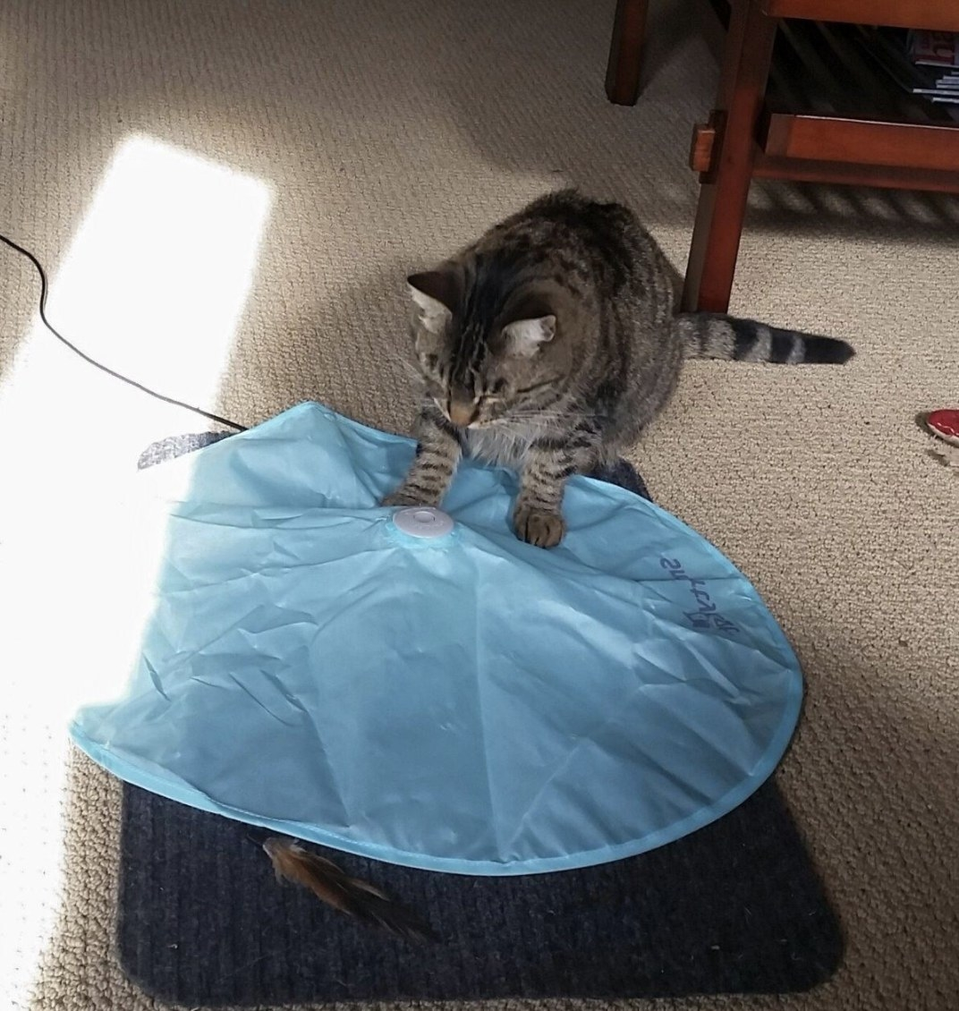 A cat playing with a concealed motion toy