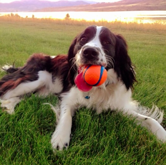 dog with an orange and blue ball in its mouth