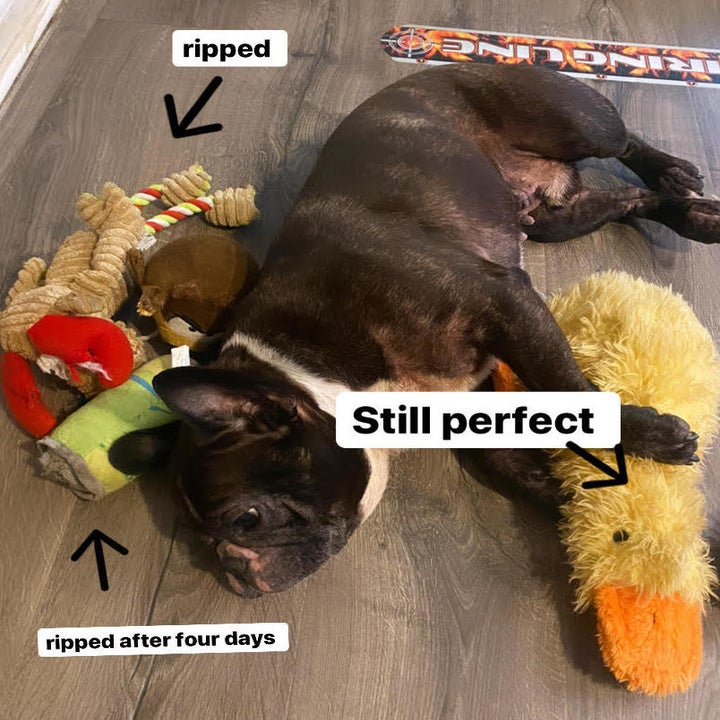 """buzzfeed editor's dog next to three torn-apart toys captioned """"ripped"""" and """"ripped after four days"""" and the duck captioned """"still perfect"""""""