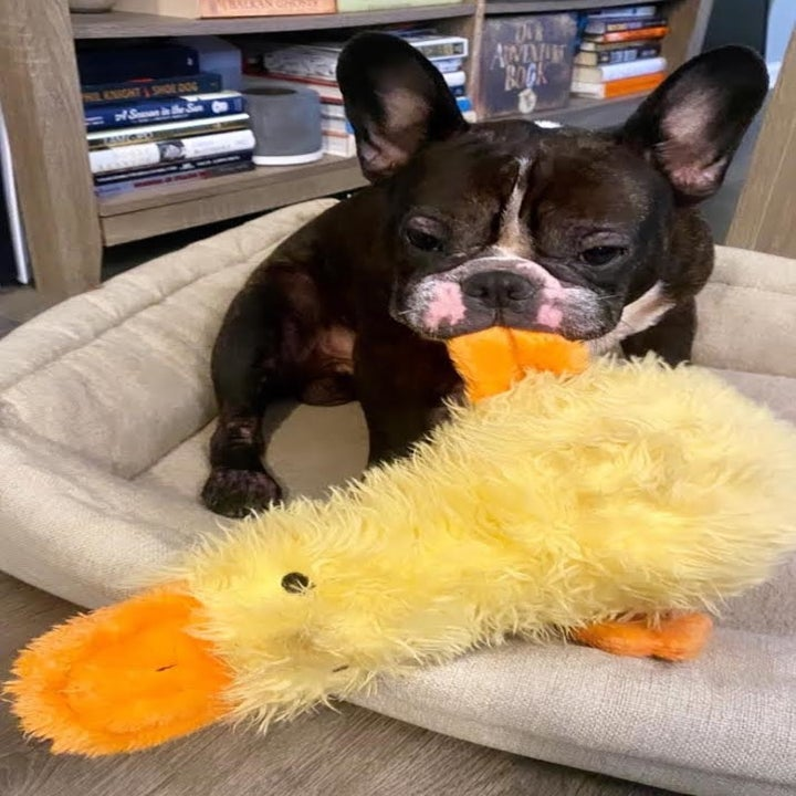 buzzfeed editor's french bulldog chewing the duck