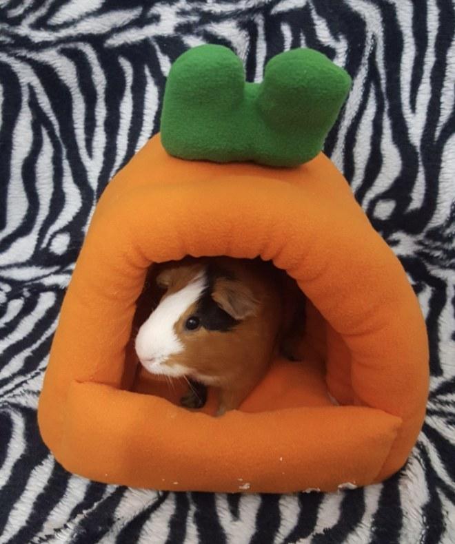 A guinea pig in a carrot-shaped hut