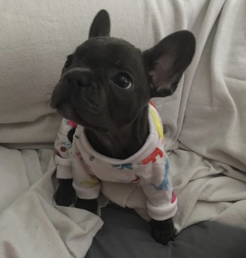 A reviewers bulldog puppy in the pajamas