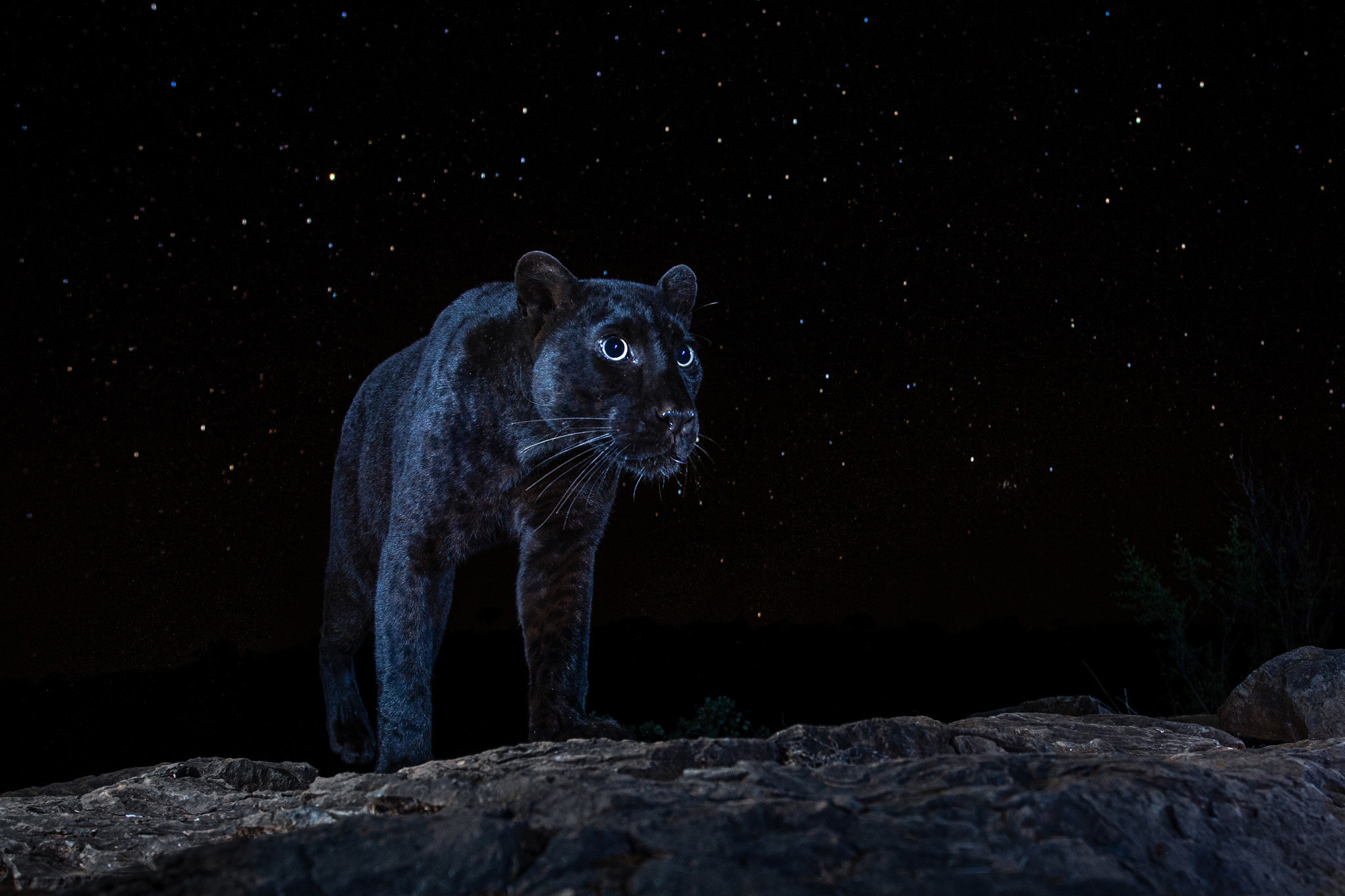 A panther on a starry night in Laikipia County, Kenya, July 2019