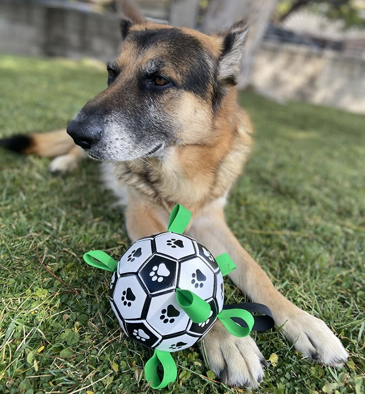 Dog in yard with ball
