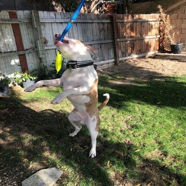 dog on hind legs grabbing rope