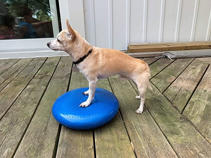 dog on porch with blue cushion