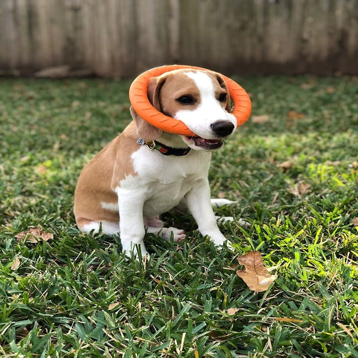 dog in grass with ring in mouth