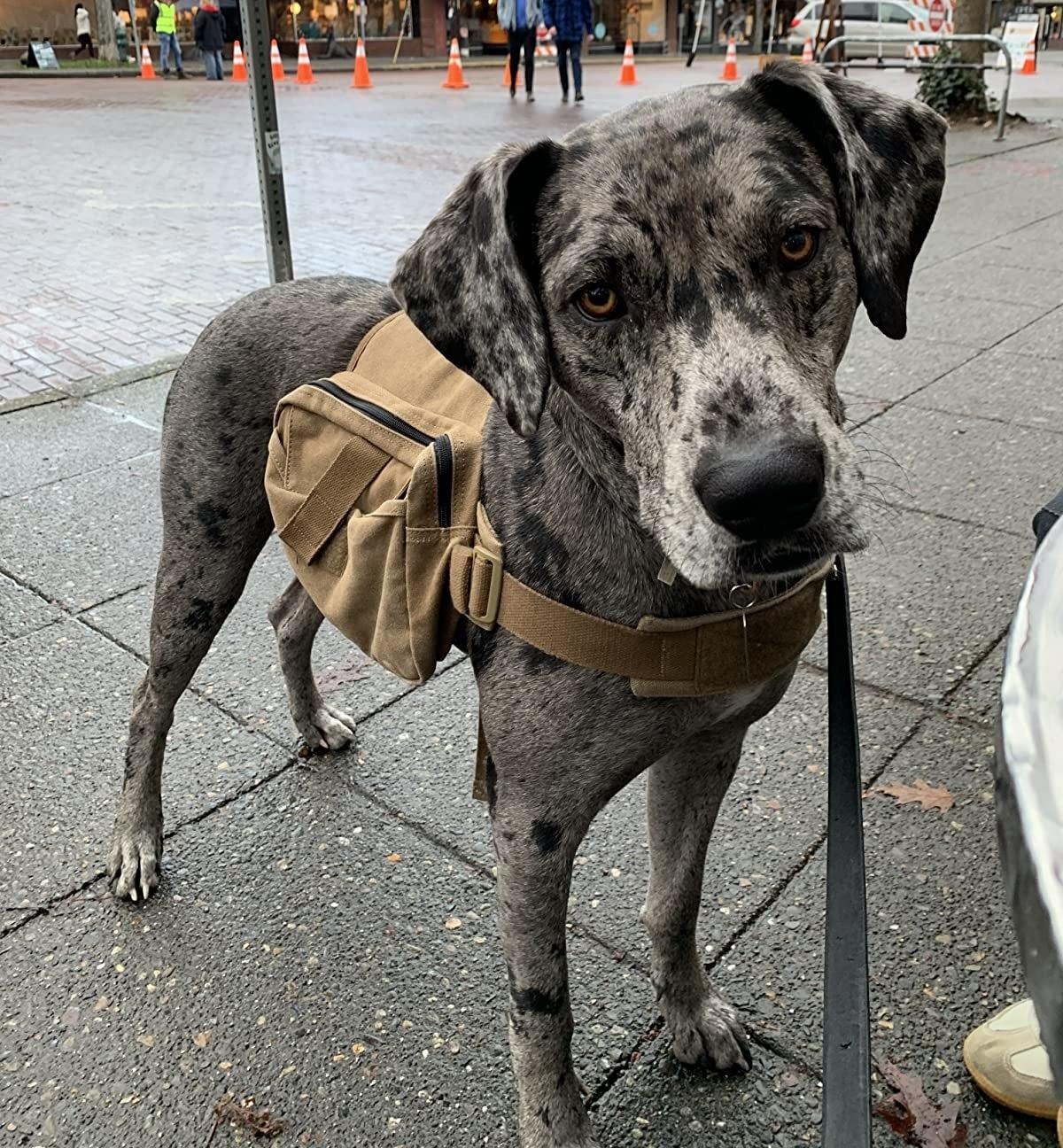 dog on sidewalk with backpack