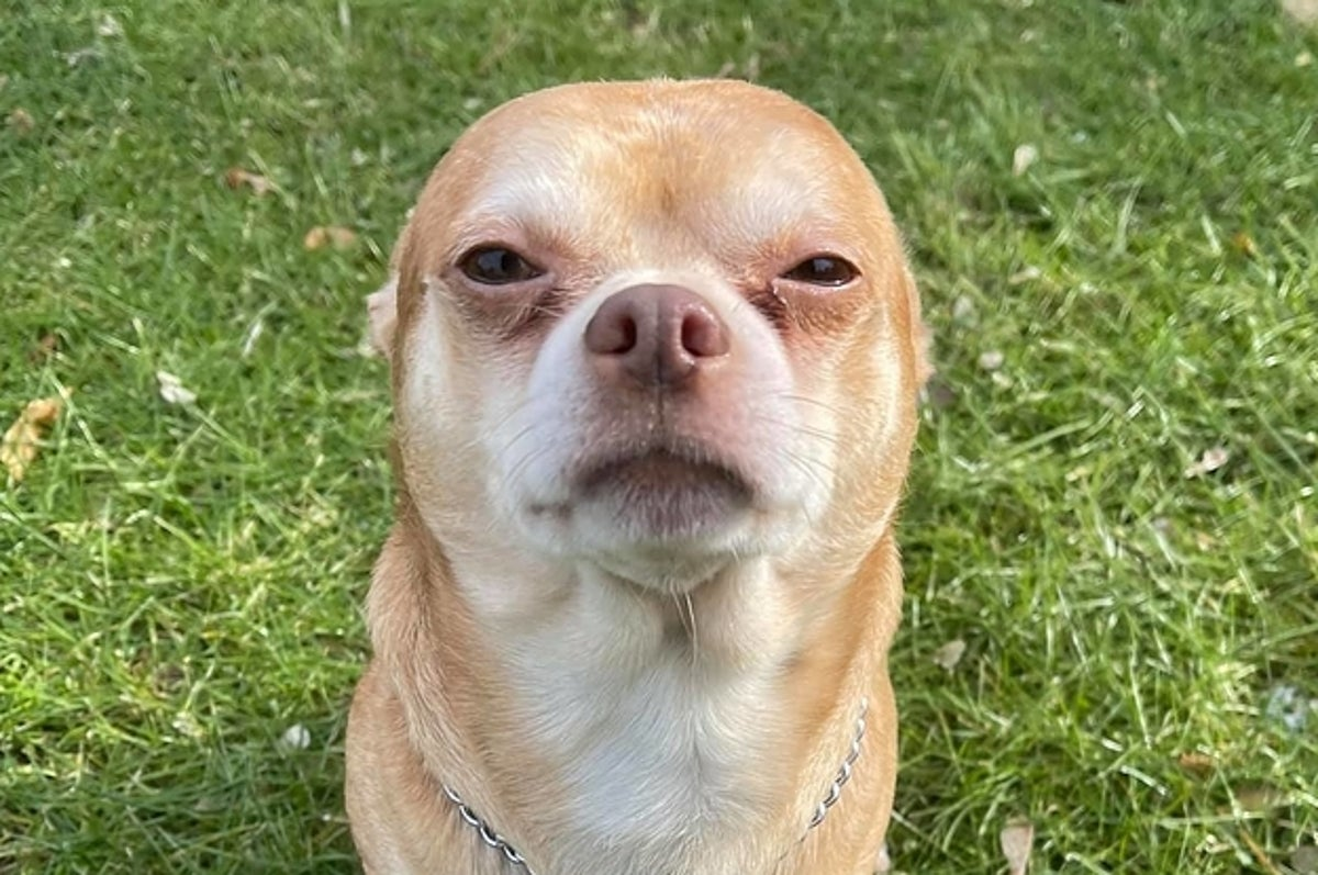This Chihuahua Named Prancer Hates Almost Everyone But Now The Internet Loves Him