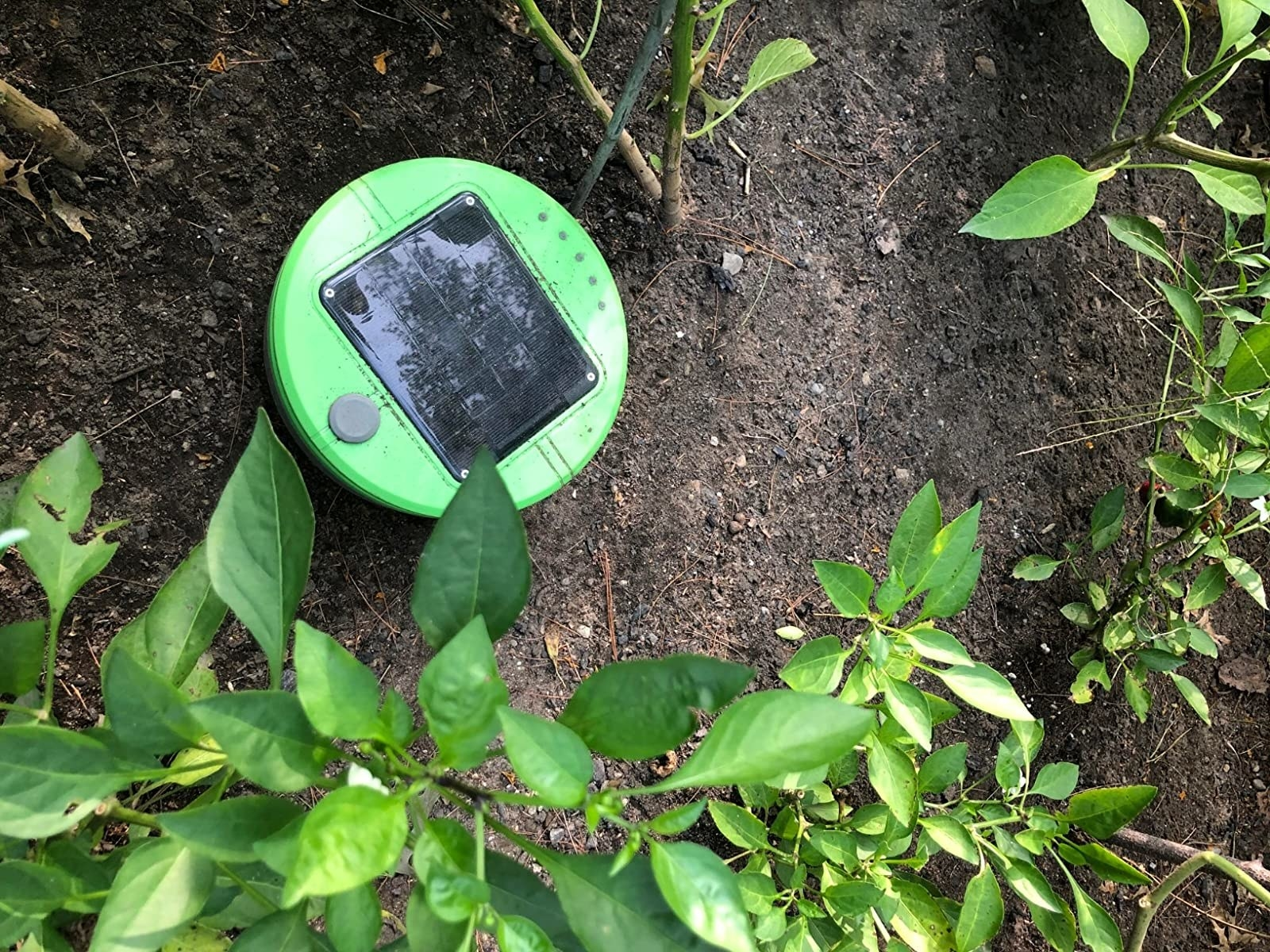the weeding robot in a reviewers garden