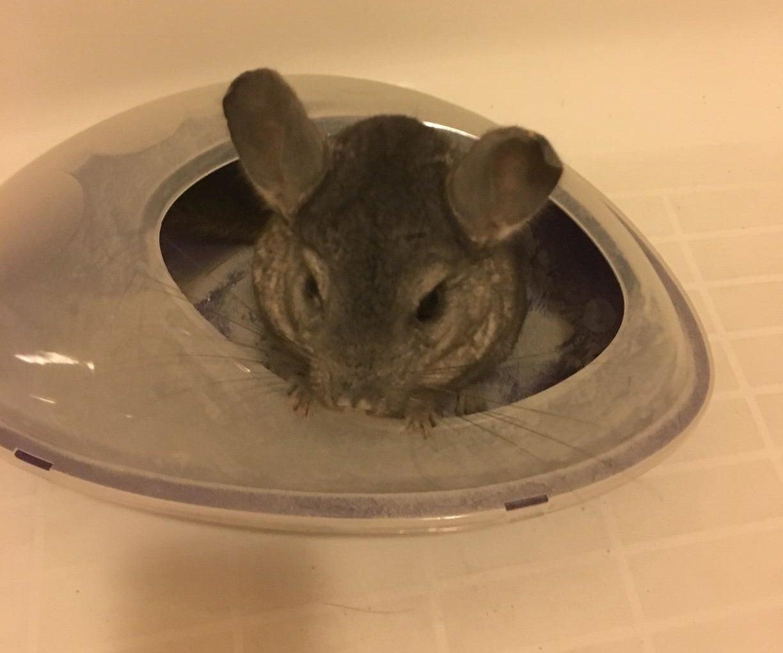A chinchilla in the bath
