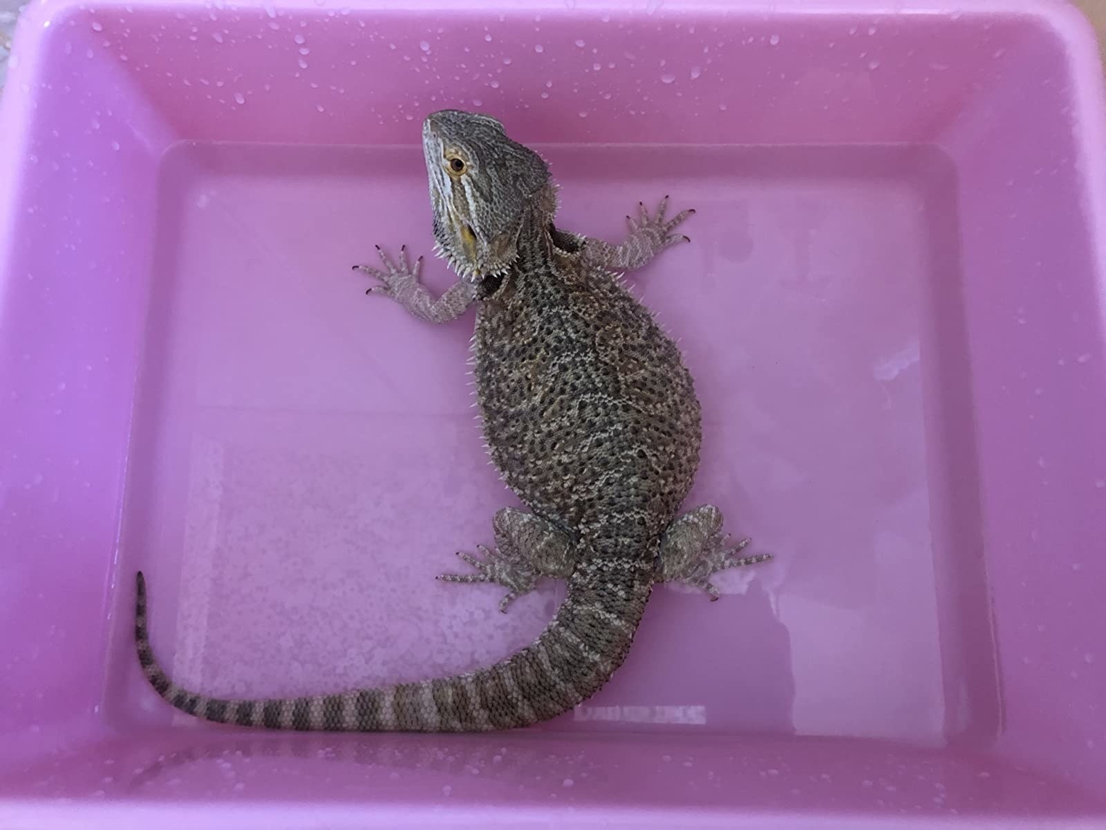 A reptile being bathed in the product