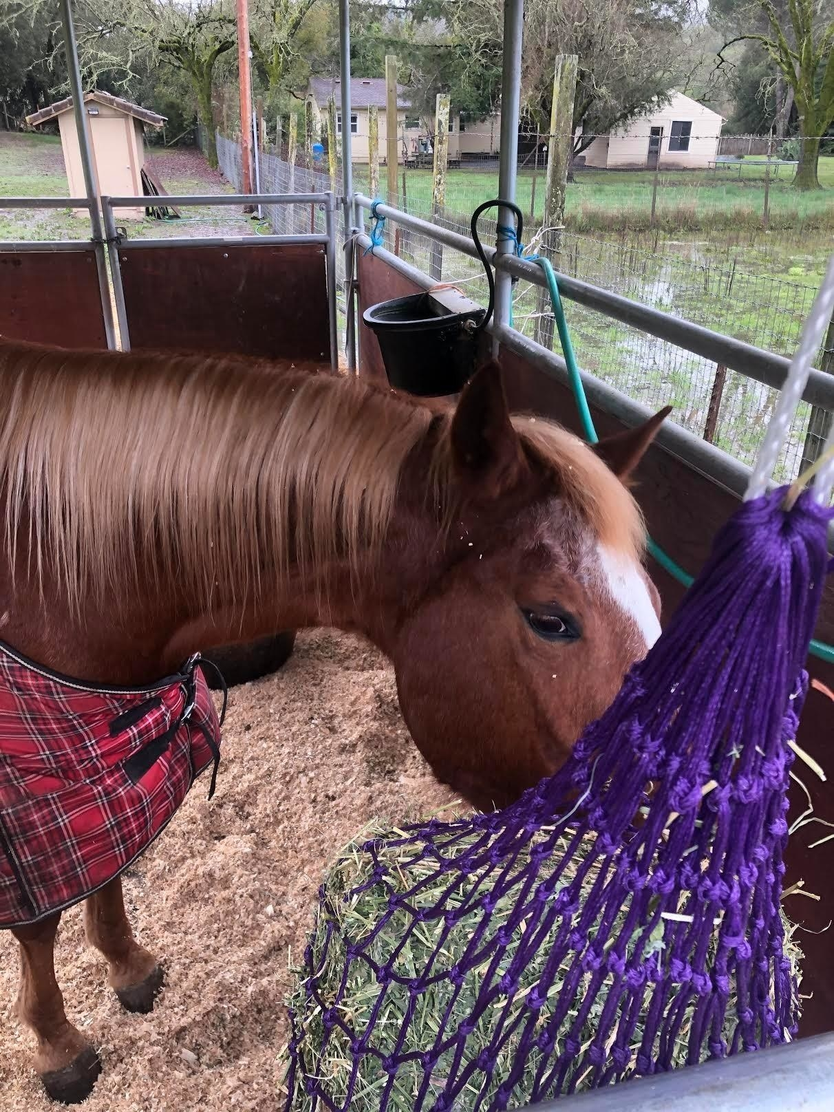 A horse eats from the net