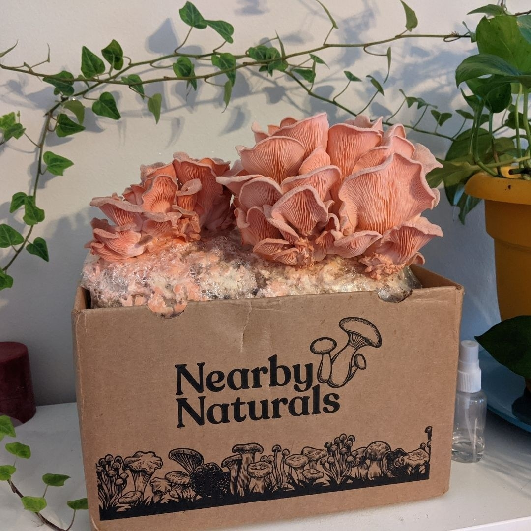 box with pink oyster mushroom growing out of the top