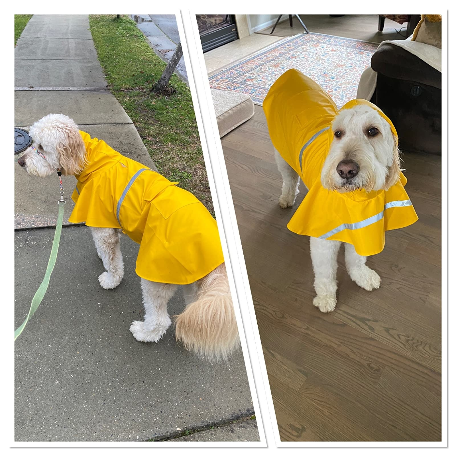 A dog wearing the raincoat, which had a small hood and runs down their backs, covering the top of their hindquarters, in yellow