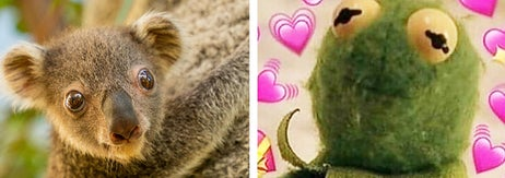 Left: Photo of a koala joey; Right: A Kermit reaction meme with him holding up a sign saying