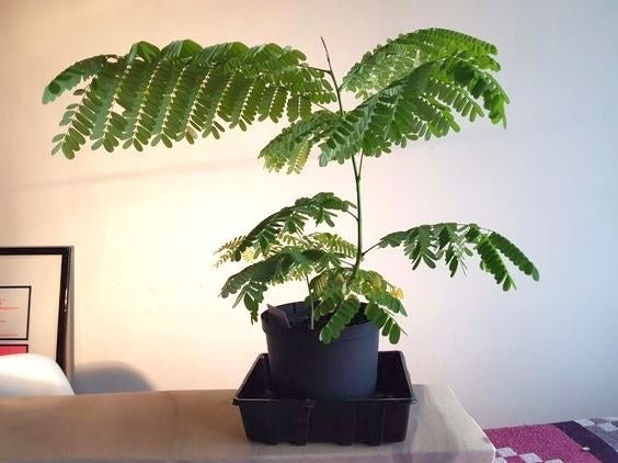 Reviewer's picture of the fully grown bonsai tree
