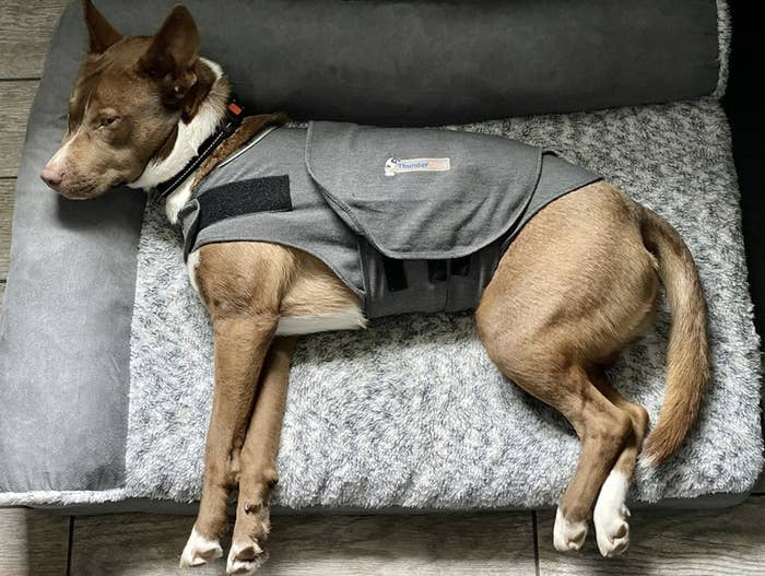 A dog laying on a dog bed with an anxiety jacket on