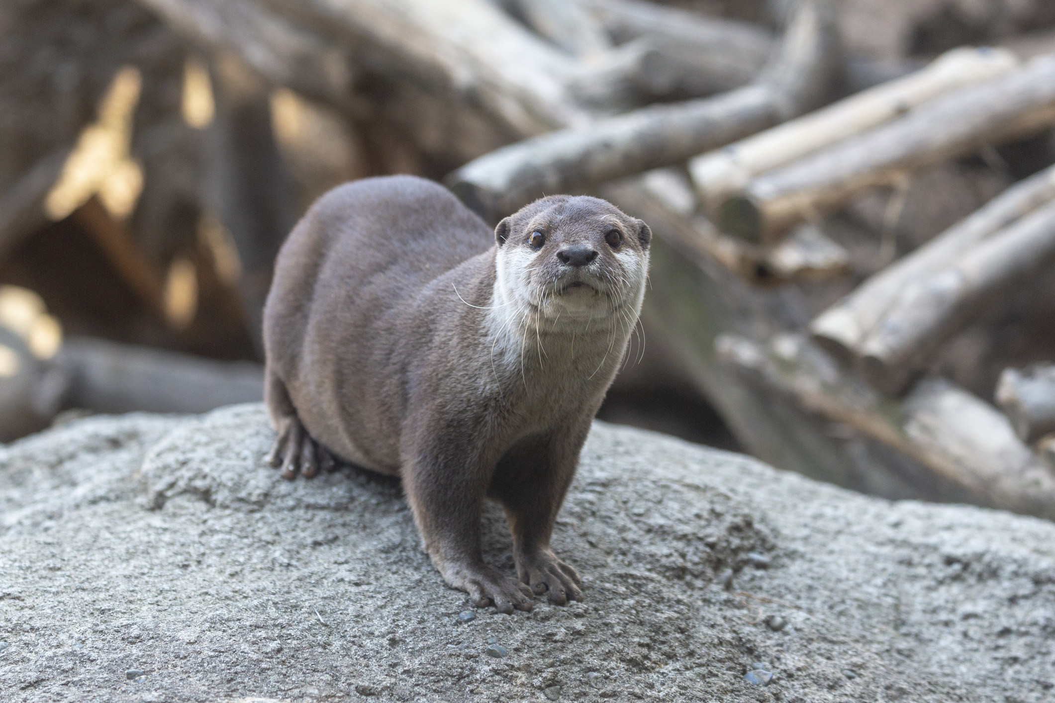 otter looking at camera while standing on a rock