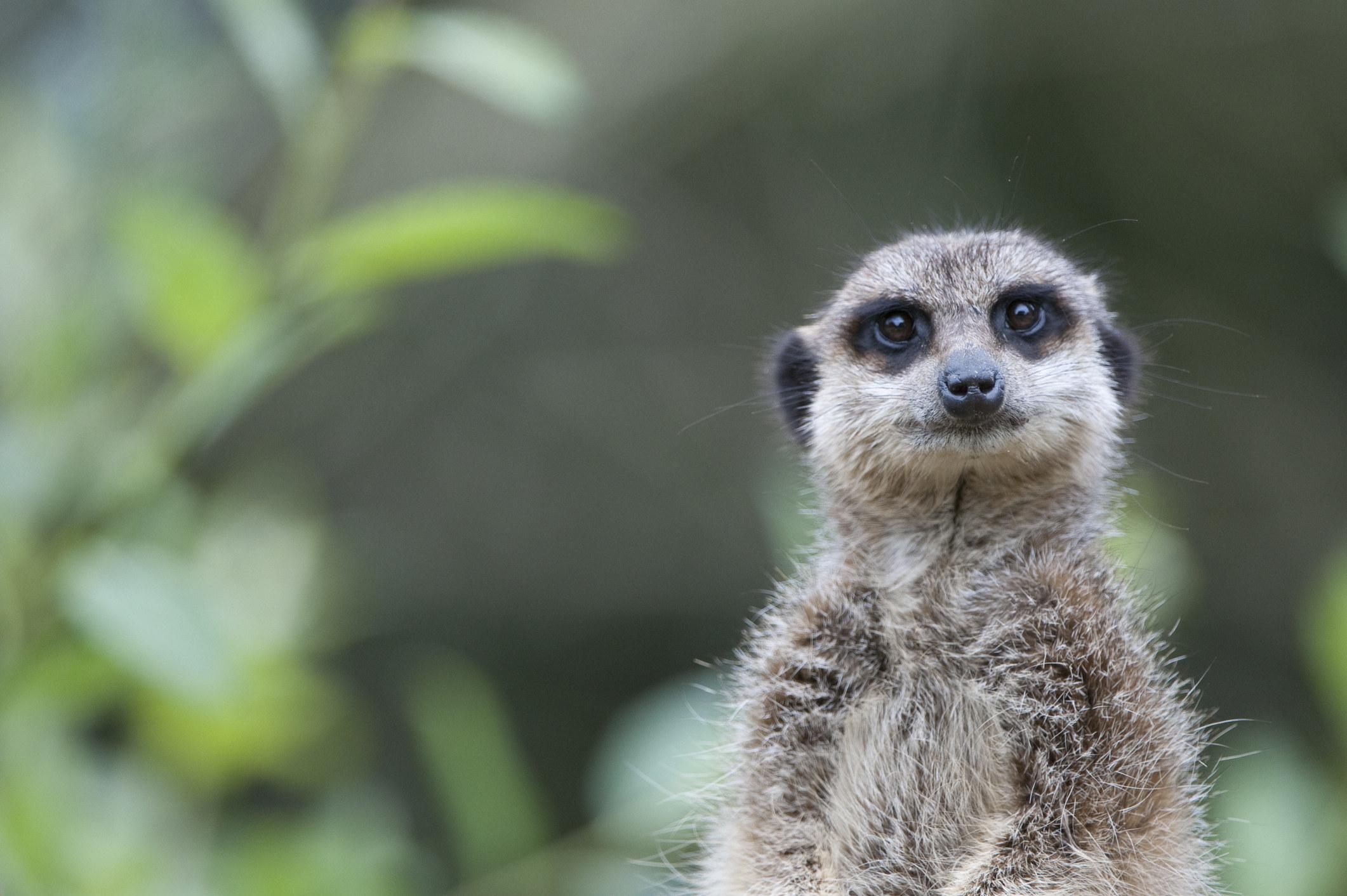 meerkat staring ahead of the camera