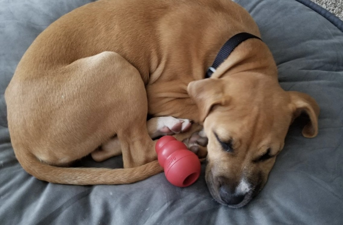 A dog sleeping with a Kong