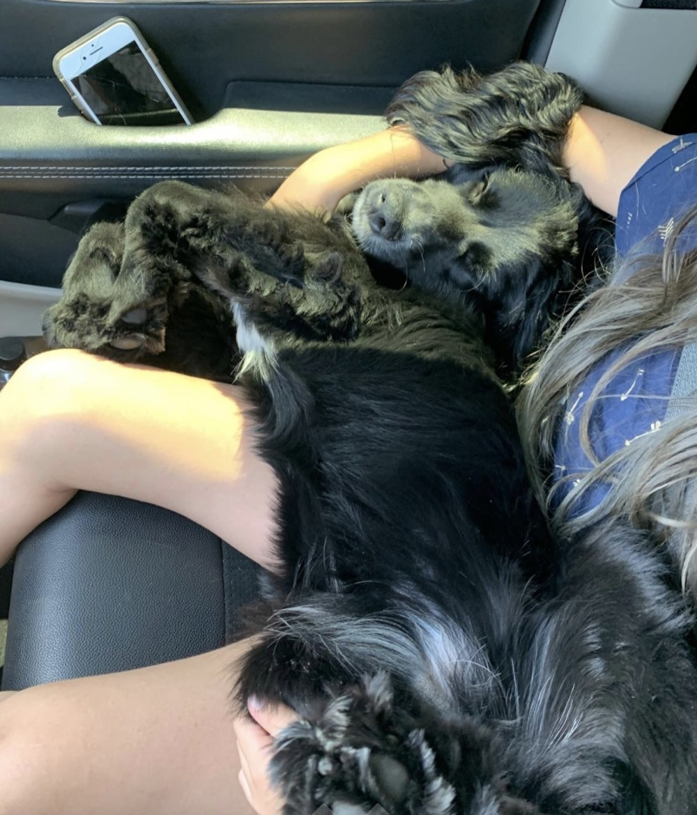 A dog sleeping on a person's lap in a car
