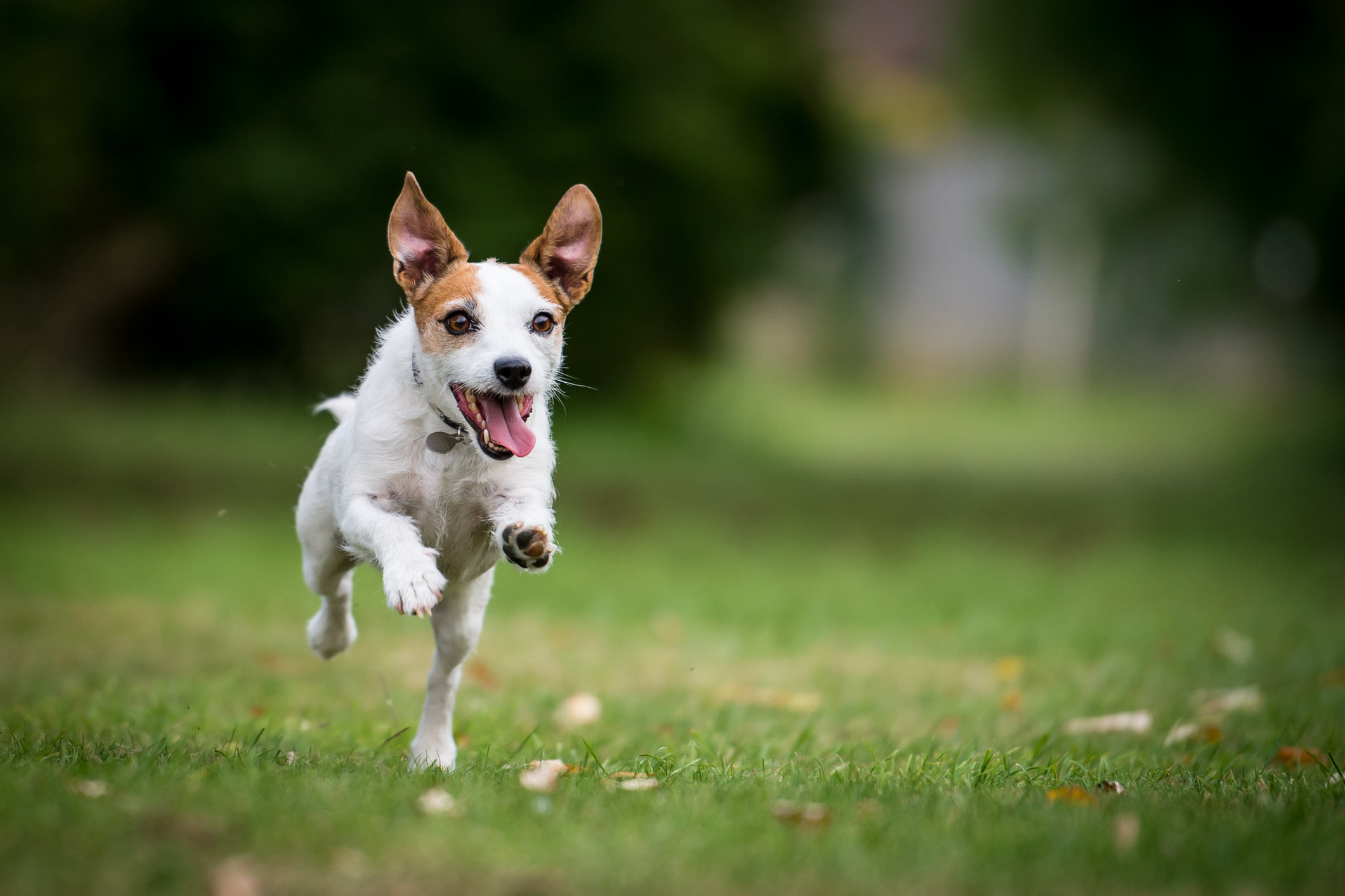 Jack Russell running in a park