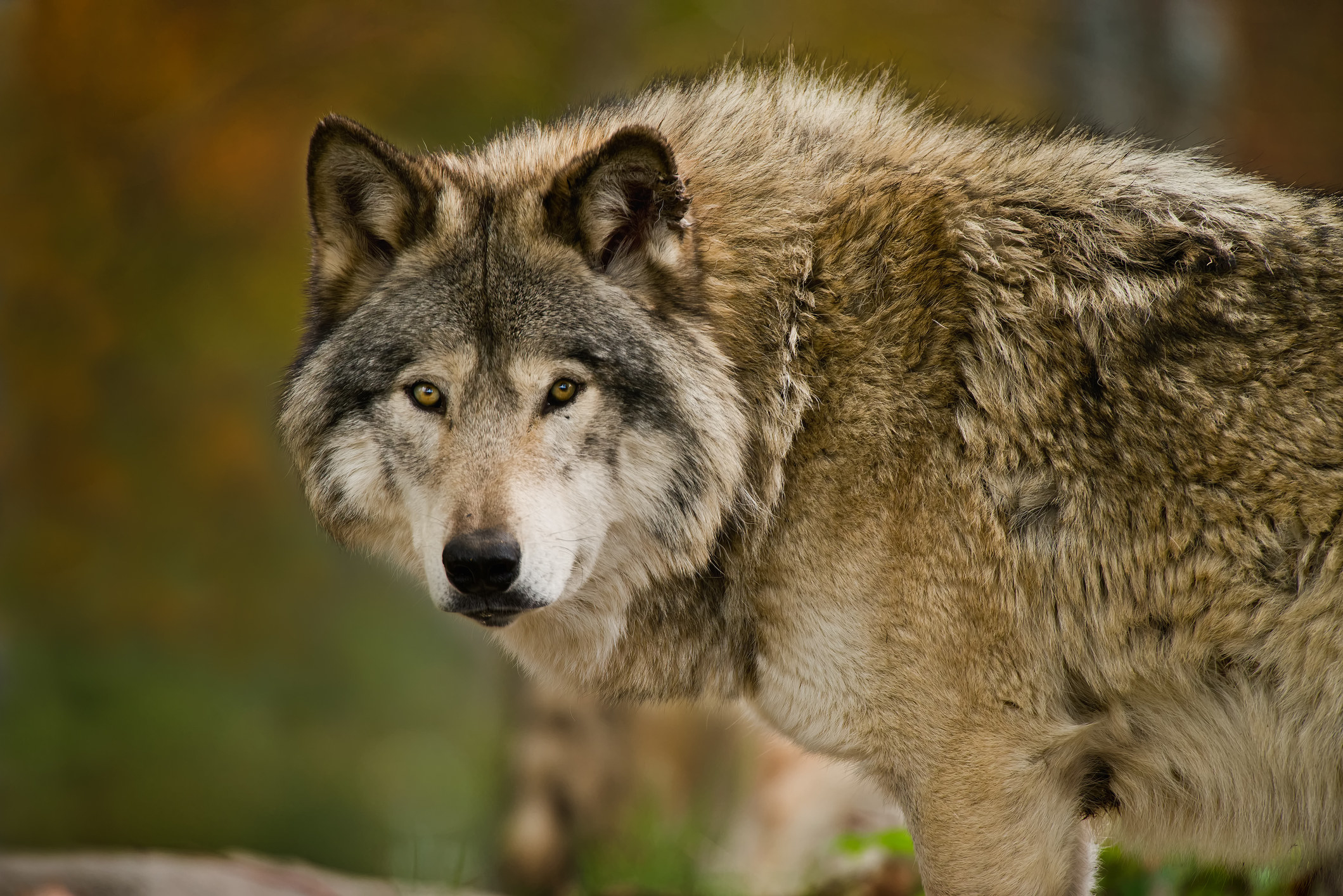 wolf looking straight ahead at camera