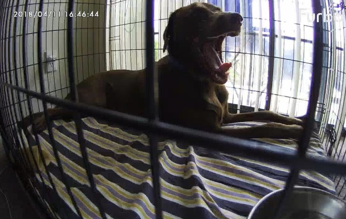 A dog yawning in their crate