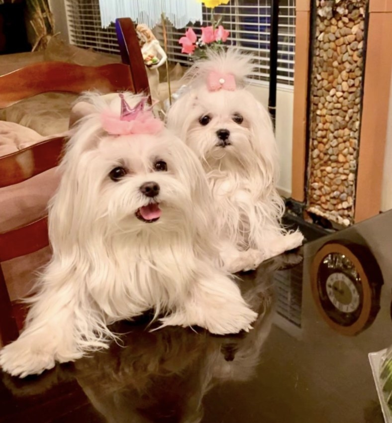 Two dogs on a table