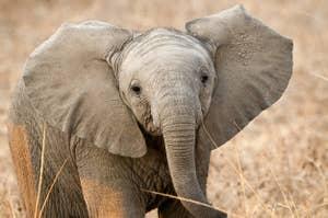 African elephant calf (Loxodonta africana. South Luangwa National Park, Zambia, Africa