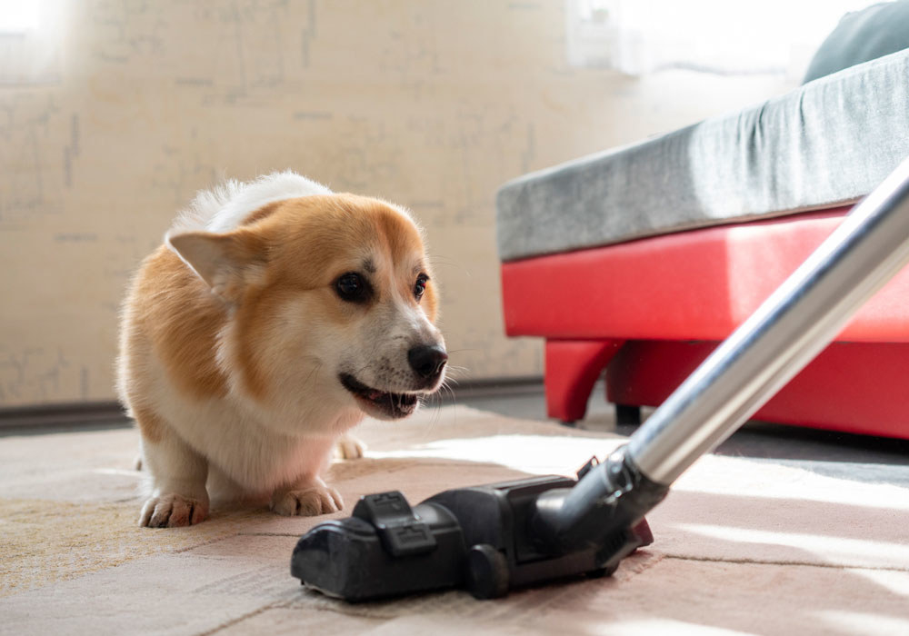 A corgi dog looking at a vacuum cleaner.