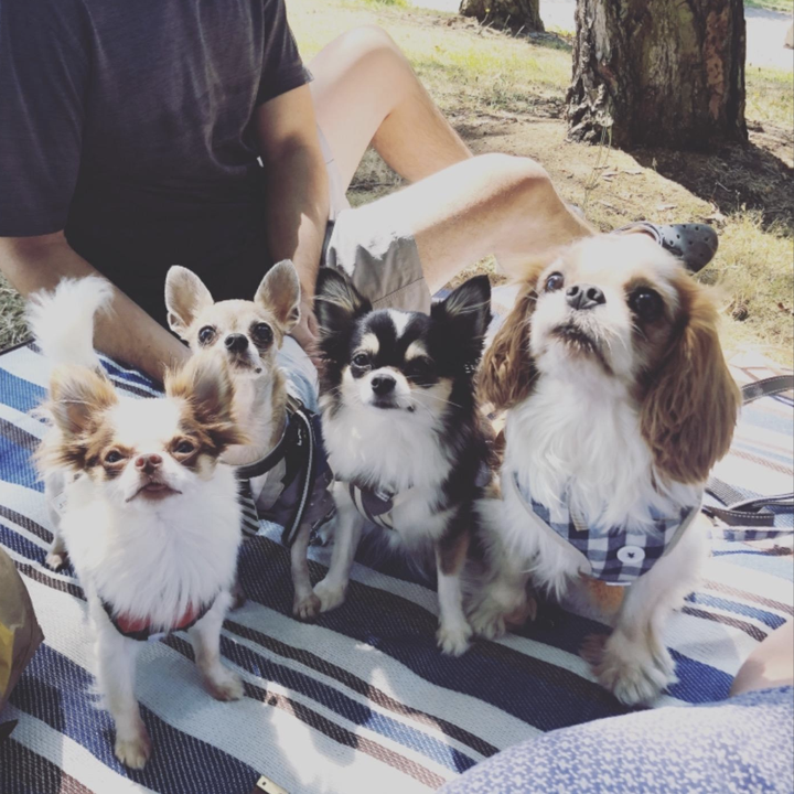 four very cute small doggos on the blue and white striped blanket