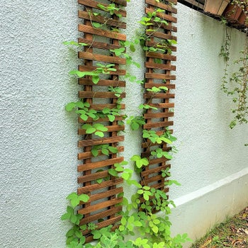 two trellises installed on wall with plants growing up each
