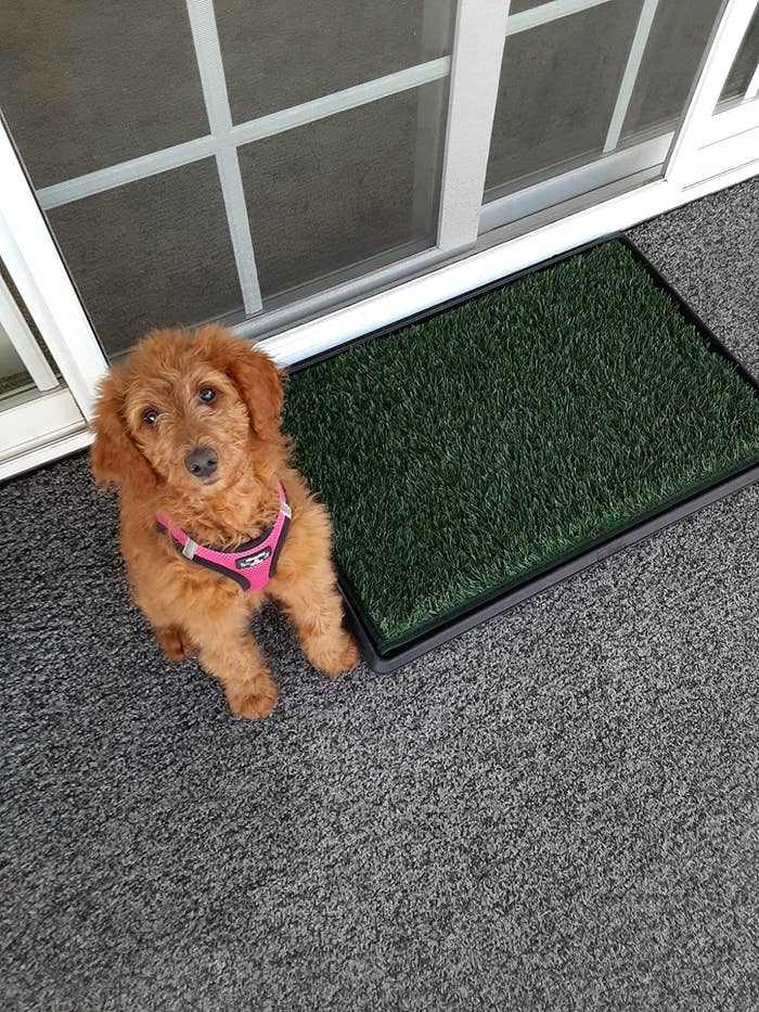 A dog next to the mat, which is rectangular, and covered in dark green artificial grass