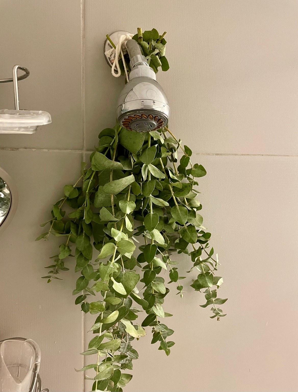 Eucalyptus bundle in the shower