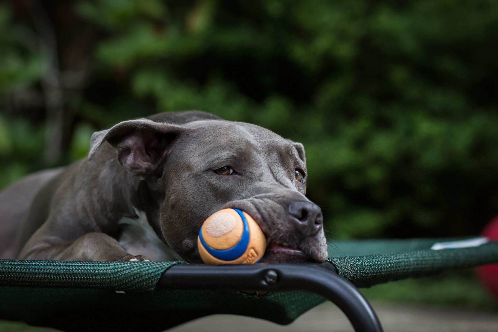 a pit bull laying with the ball