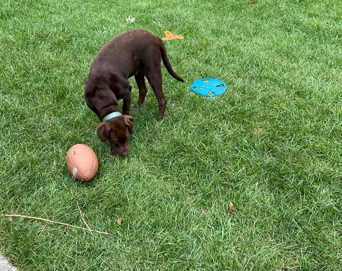 a dog on a green lawn