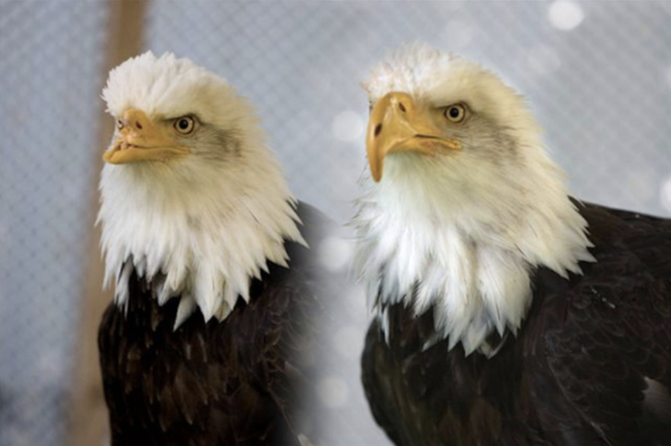 In one photo an eagle has no nose and in a second he has a large beak