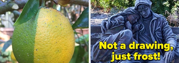 A lemon that is half yellow and half green, and a sculpture of a man holding a woman covered in frost, making it look like a pencil drawing