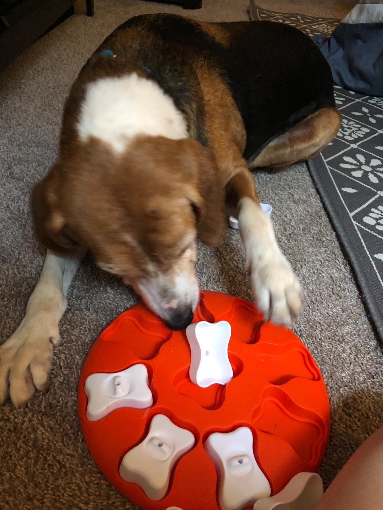 The toy, which is round, with covered bone-shaped compartments that the dog can remove to find the snacks