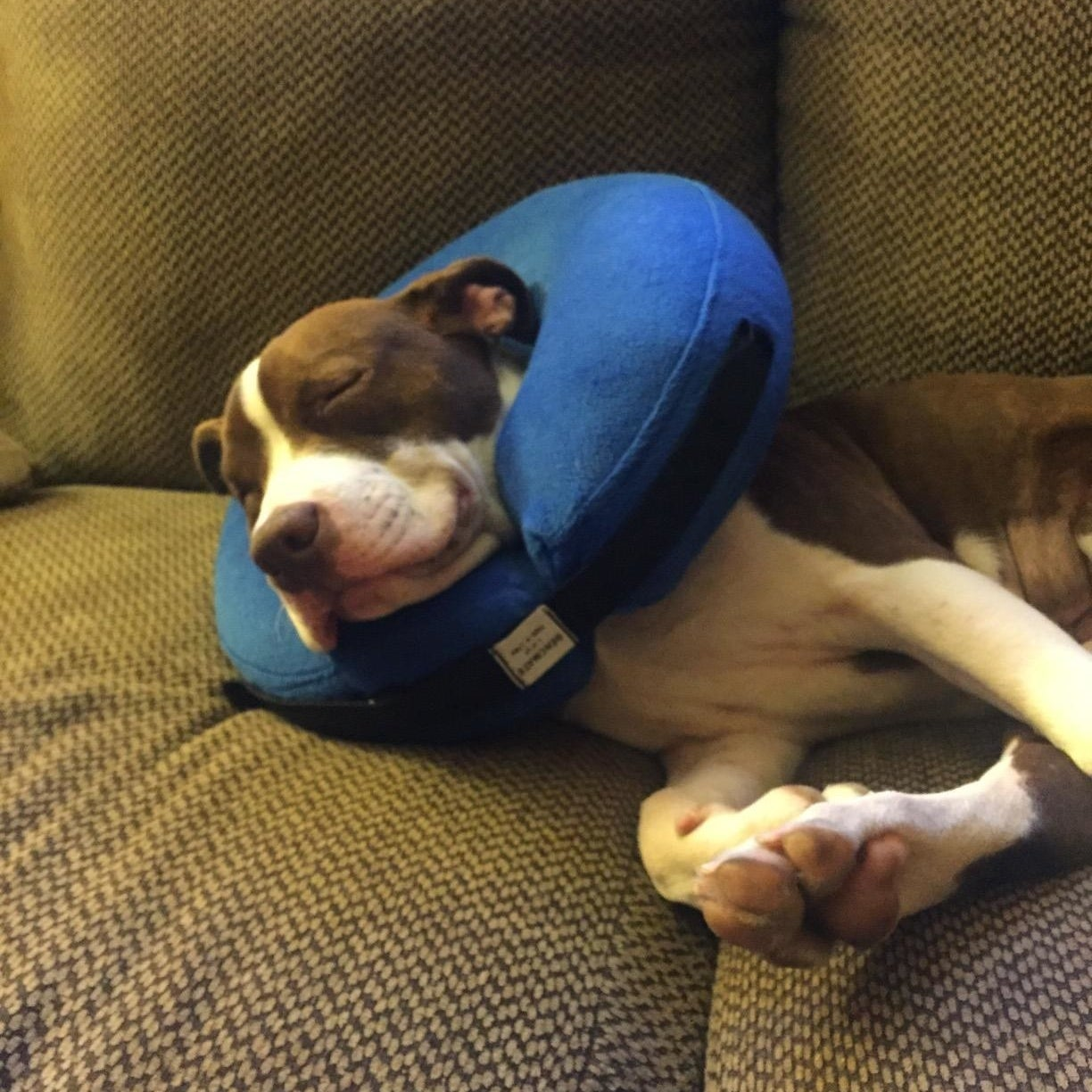 a dog sleeping with the collar on