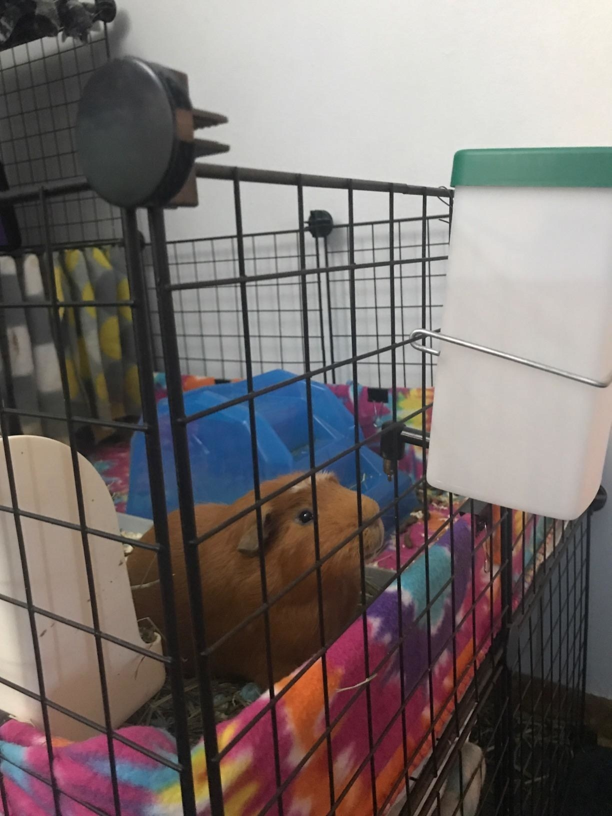 a guinea pig using the water bottle