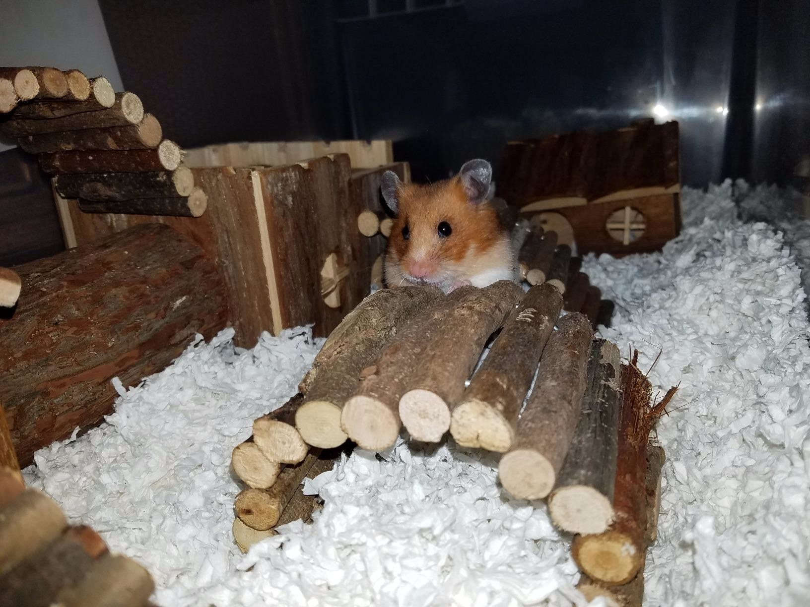 a reviewer's hamster crawling on the wooden bridge