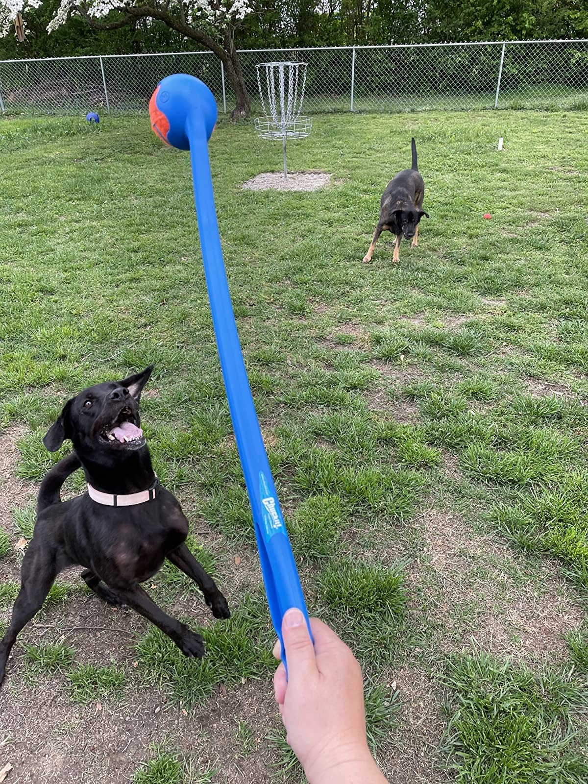 Review photo of dog enjoying the ball launcher